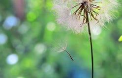 Baisses de rosée sur une graine de pissenlit photo libre de droits