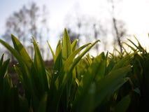 Baisses de scintillement de rosée sur l'herbe verte image stock