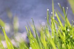 Baisses et herbe de l'eau Photos stock