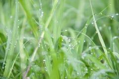 Baisses sur l'herbe verte après pluie Baisse de l'eau sur la prairie d'herbe images stock
