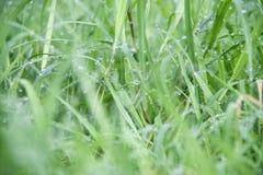 Baisses sur l'herbe verte après pluie Baisse de l'eau sur la prairie d'herbe photographie stock libre de droits