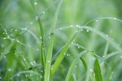 Baisses sur l'herbe verte après pluie Baisse de l'eau sur la prairie d'herbe photo libre de droits