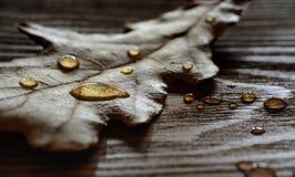 Baisses sur la feuille sèche de chêne Photo libre de droits