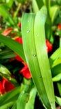 Baisses sur la feuille verte Photographie stock libre de droits