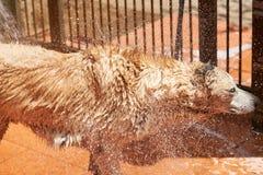 Baisses volant de la fourrure humide de chien Photo libre de droits