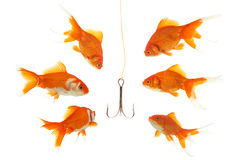 Bait. Goldfishes looking to the fishhook Stock Photo