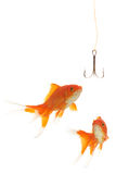 Bait. Goldfishes looking to the fishhook Royalty Free Stock Photos