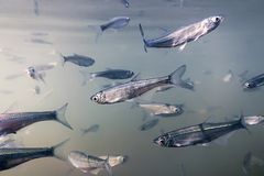 Bait fish Freshwater underwater. Common Bleak close up. Royalty Free Stock Photography