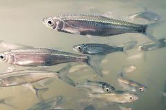 Bait fish Freshwater underwater. Common Bleak close up. Royalty Free Stock Photos