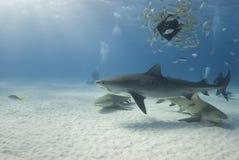 baitfish τίγρη λεμονιών Στοκ φωτογραφία με δικαίωμα ελεύθερης χρήσης
