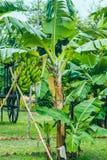 Baixa árvore com bananas fotos de stock royalty free