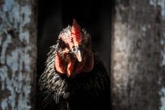 Baixa chave da galinha Foto de Stock Royalty Free
