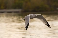 Baixa gaivota do vôo Foto de Stock