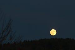 Baixa lua dourada no céu escuro apenas acima da linha de árvore Fotos de Stock Royalty Free