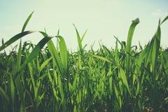 Baixo ângulo da grama fresca conceito da liberdade e da renovação fotografia de stock