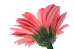 Baixo ângulo do gerbera cor-de-rosa Fotos de Stock Royalty Free