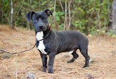 Baixo-cavaleiro Pit Bull Puppy Adoption Photo fotografia de stock royalty free