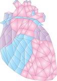 Baixo coração humano poli da anatomia Foto de Stock
