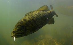 Baixo de Smallmouth subaquático no rio em oregon fotos de stock