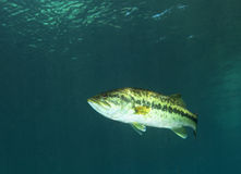 Baixo Largemouth de Florida - rio do arco-íris Imagem de Stock