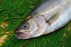 Baixo-Lateolabrax japonês do mar japonicus Fotografia de Stock