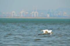 Baixo voo do grande Egret branco Fotos de Stock Royalty Free