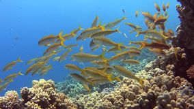 Bajío de goatfish en un arrecife de coral tropical almacen de video