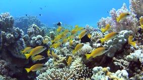 Bajío de mordedores en un arrecife de coral tropical metrajes