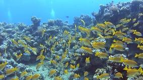 Bajío de mordedores en un arrecife de coral tropical almacen de metraje de vídeo