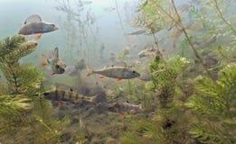 Bajío de perca en el lago Imagen de archivo