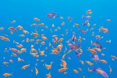 Bajío de pescados exóticos Anthias en el mar tropical, subacuático Imágenes de archivo libres de regalías