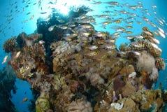 Bajío de pescados y de filón coralino Imagen de archivo libre de regalías