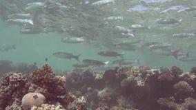 Bajío de salmonete del fringelip en agua poco profunda en un arrecife de coral tropical almacen de metraje de vídeo