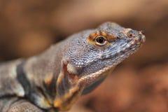 Baja蓝色岩石蜥蜴 免版税图库摄影