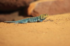 Baja Blue Rock Lizard Stock Photography