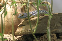 Baja blue rock lizard Stock Image
