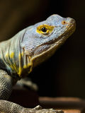 Baja Blue Rock Lizard. Portrait of a Baja Blue Rock Lizard with head slightly turned looking into camera stock photo