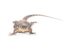 Baja blue rock lizard. Close up of a baja blue rock royalty free stock image