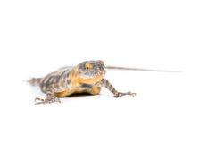 Baja blue rock lizard. Close up of a baja blue rock lizard on a white background royalty free stock photography