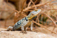 Baja Blue Rock Lizard. In desert Stock Photography