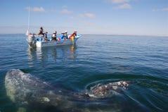 Baja California ignacio盐水湖圣注意的鲸鱼 库存照片