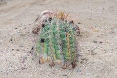 Baja California kaktusslut upp Royaltyfria Bilder