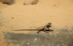 Baja california rock lizard Royalty Free Stock Photos