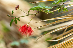 Baja Fairyduster. A beautiful spiky red flower of the Baja Sonoran Desert dangles near a pointy cactus grass Stock Images