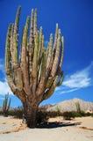 baja gigantes sahurous的墨西哥 免版税图库摄影