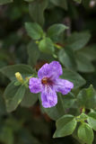 Baja Petunia Stock Photography