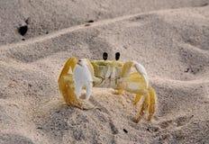 Bajan koloru żółtego krab zdjęcia royalty free