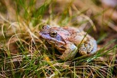 Bajecznie żaba Fotografia Royalty Free