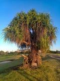 Bajecznie drzewko palmowe w golfowym polu obraz stock
