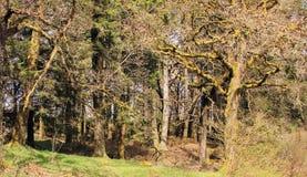 Bajka las w Aberfoyle Szkocja Zdjęcie Stock